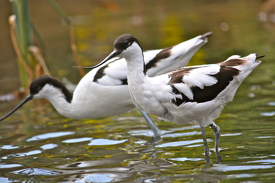 Avocets at Chichester Harbour - on the England Coast Path