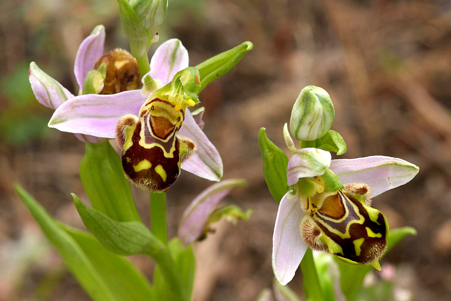 Bee orchids