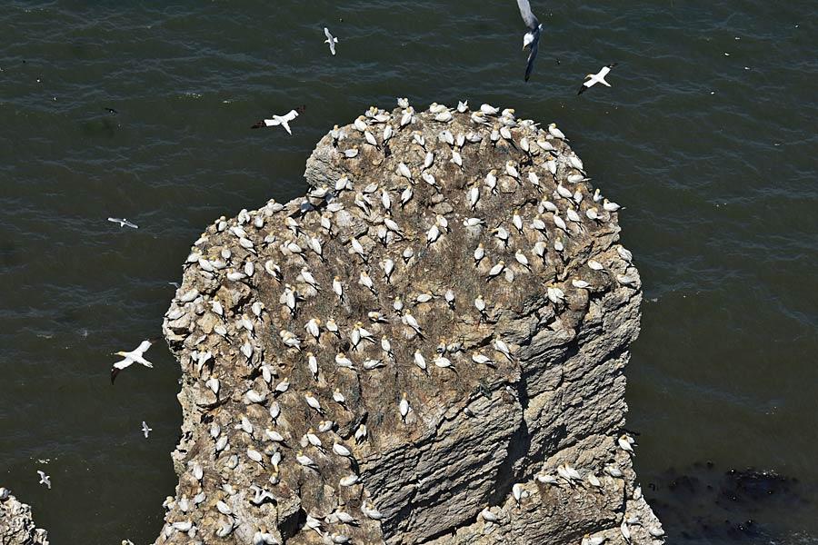 Nesting gannets at Bempton