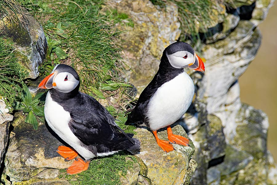 Puffins on the chalk cliffs at Bempton, in Yorkshire