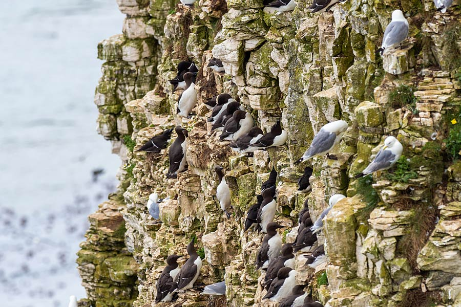 Bempton's chalk cliffs are noisy with nesting seabirds