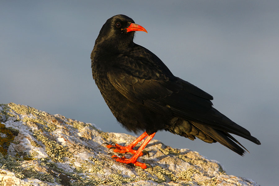 Chough on the North Cornwall coast - part of the England Coast Path