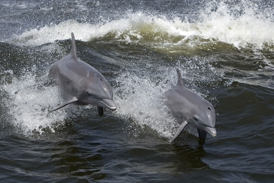 Bottlenose Dolphins off the England Coast Path