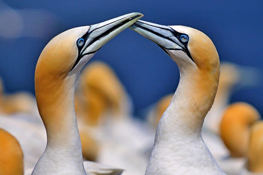 England Coast Path: gannets