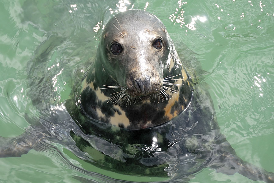 Curious Atlantic grey seal