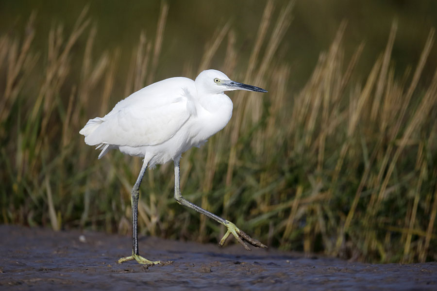 Little egret on the Solent — part of the England Coast Path