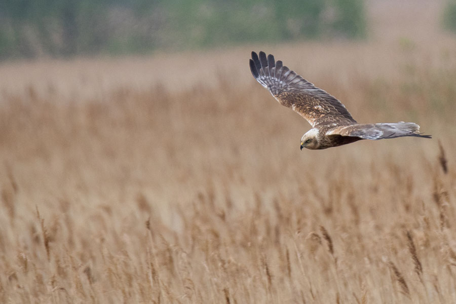 Marsh Harrier at Minsmere RSPB Reserve - on the England Coast Path